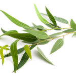 Eucalyptus Essential Oil 1oz